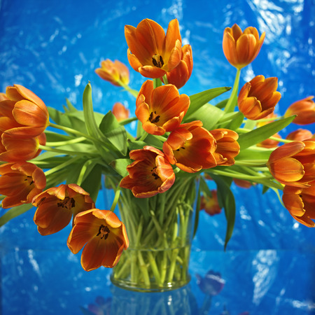 bouquet of vibrant orange tulips, blue background Stock Photo