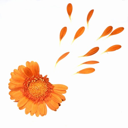 gerbera daisy: he loves me, he loves me not.  Orange gerbera with a few petals torn out.  isolated on white