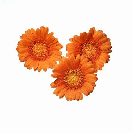 three vibrant orange gerberas isolated on white Stock Photo - 1694641