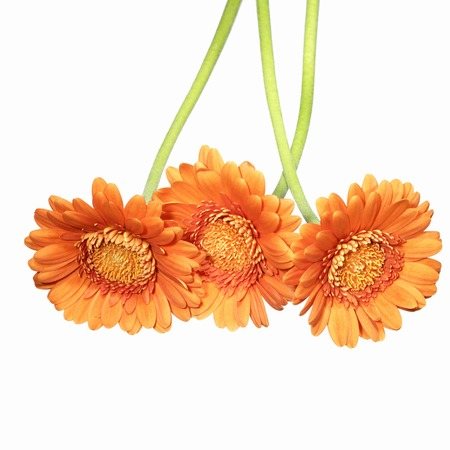three vibrant orange gerberas isolated on white