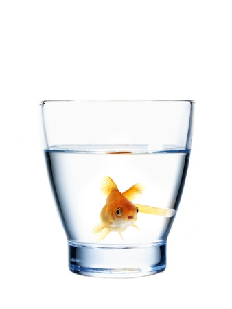 healthy goldfish in a water glass (concept of fresh and healthy water)