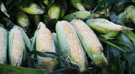 A bunch of Corn