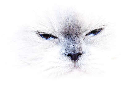 A blue point himalayan cat isolated on white background photo