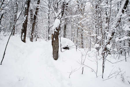 Winter forest under the snow in december (Quebec, Canada) 免版税图像