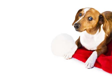 A dachshund puppy resting on a santa claus hat\r
