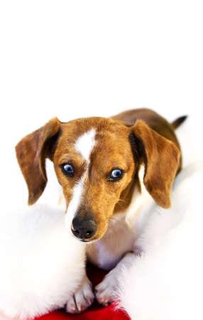 A dachshund puppy resting on a santa claus hat\r Stock fotó