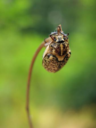 polyphylla: beetle Stock Photo