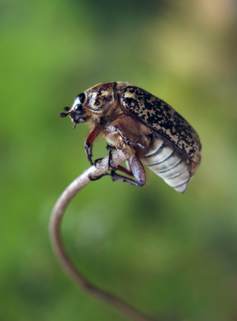 polyphylla: chafer beetle Stock Photo