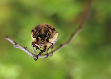 escarabajo: chafer beetle Foto de archivo