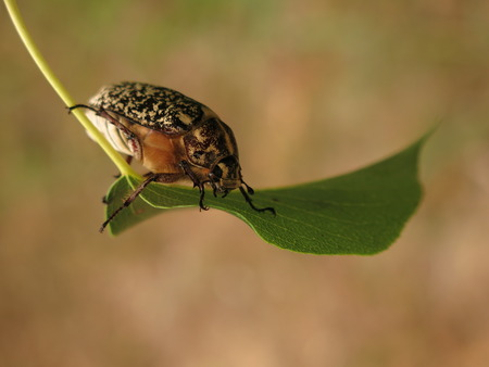 polyphylla: chafer beetle marble Stock Photo