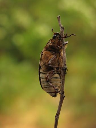 polyphylla: beetle Polyphylla Stock Photo