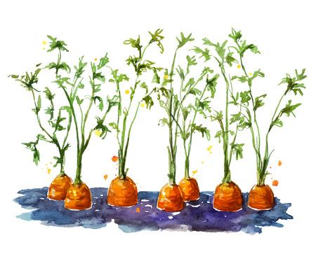 Verse biologische wortelen groeien in de bodem. Watecolor. Hand geschilderd.
