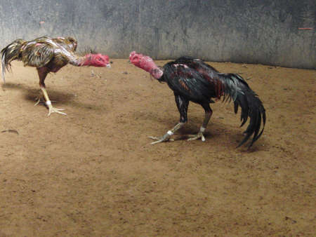 cockfighting: Cockfighting Stock Photo
