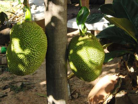 jack fruit: Jack fruit Stock Photo
