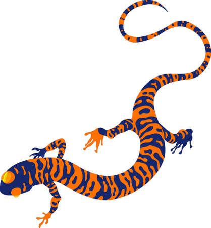 salamandre:  modèle de salamandres, sur fond blanc Illustration