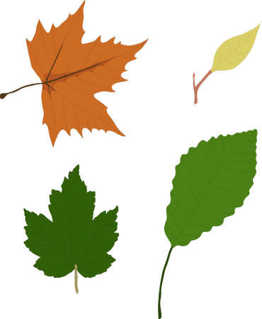 pinnately:  model of leaves, in four different types and shapes Illustration