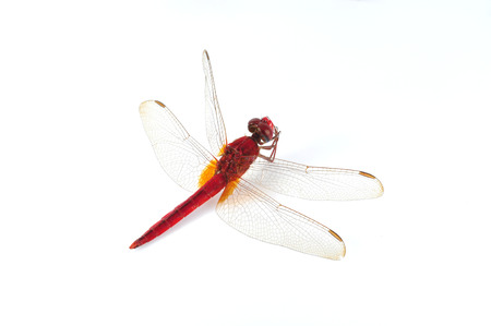 pondhawk: Red dragonfly on a white background