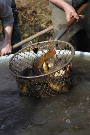 carps caught in the net during harvesting fishpond photo