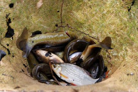freshwater fish: freshwater fish caught in the net Stock Photo