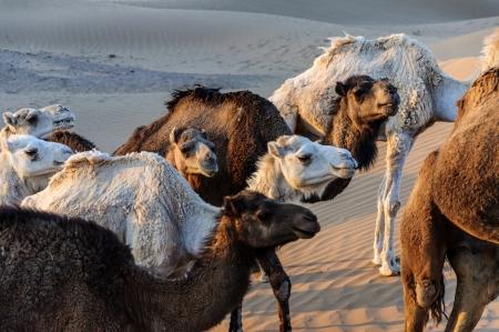 dromedaries: Group of dromedaries among sand dunes, at sunset Stock Photo