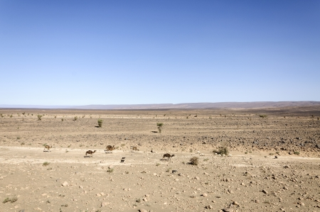 dromedaries: Morocco, Draa valley, dromedaries, sheeps and goats grazing in a desert area