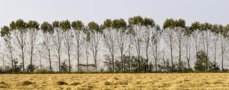 poplars: Row of poplars along a harvested rice field  Lomellina, North Italy  Stock Photo