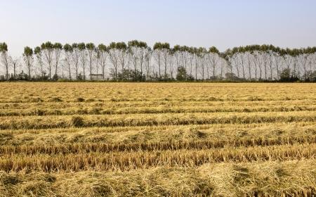 est: Row of poplars along a harvested rice field  Lomellina, North Italy  Stock Photo