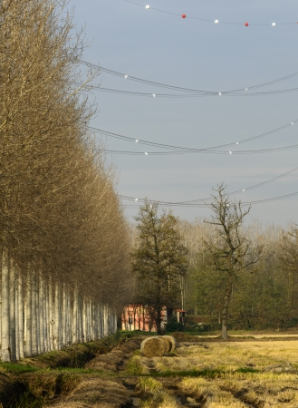 poplars: Power line in rice fields and poplars  Zerbolo, North Italy