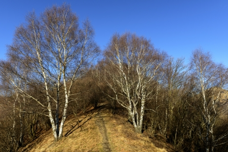 no snow: Birches in winter, no snow, Mount Bolettone  North Italy  Stock Photo