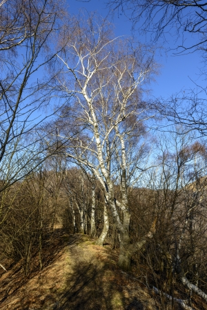 no snow: Birches in a sunny winter morning, no snow, Mount Bolettone  North Italy