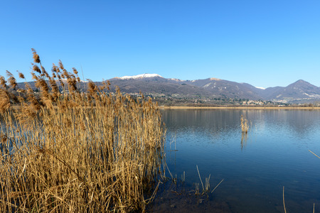 the thicket: Cane thicket on lake Alserio and Mount Bollettone on background  North Italy