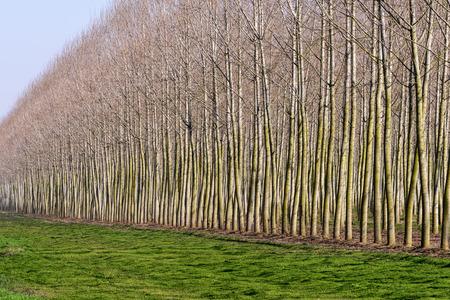 poplars: Poplars near Tromello, Lomellina  Italy  Stock Photo