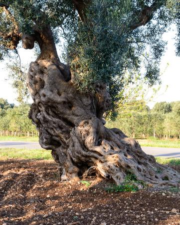 Oude olijfbomen in de buurt van Torre Canne, Apulië Italië