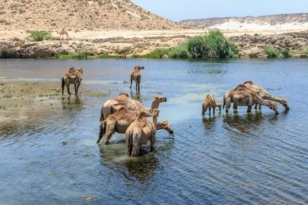 dromedaries: Dromedaries drinking at Wadi Darbat, Taqah  Oman  Stock Photo