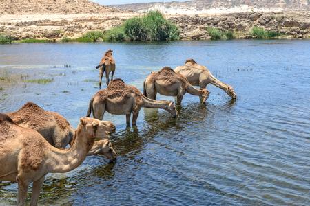 dromedaries: Dromedaries drinking at Wadi Darbat with cliffs, Taqah  Oman