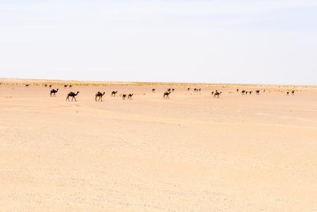 dromedaries: Herd of dromedaries, Rub al-Khali desert, Dhofar region  Oman  Stock Photo