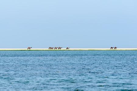dromedaries: Dromedaries at Wadi Darbat, Taqah, Dhofar region  Oman