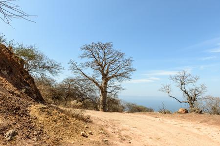 adansonia: Baobab  adansonia  near Mirbat, Dhofar region  Oman