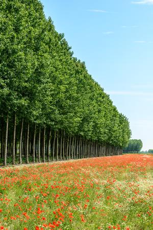 poplars: Red poppy flowers and poplars, Lomellina  Italy  Stock Photo