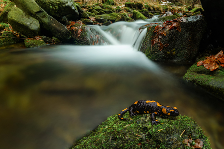 newt: Salamander in forest
