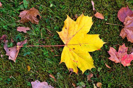 autum: autum maple leafs Stock Photo