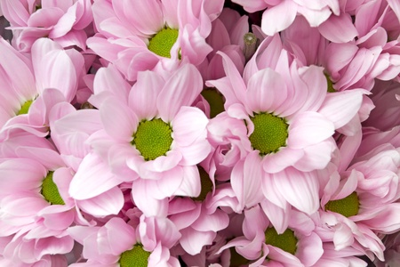 pink chrysanthemum flowers Stock Photo