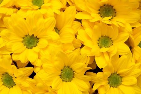 bacardi: chrysanthemum Bacardi Sunny