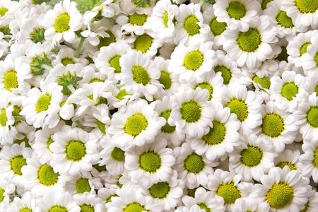lindi: chrysanthemum santini Madiba Lindi White