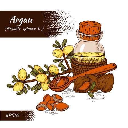 Composition with branch argan tree with fruits, nuts argans, leaves and glass bottle with oil and accessories Detailed hand-drawn sketches, vector botanical illustration. For menu, label, packaging design. Illusztráció