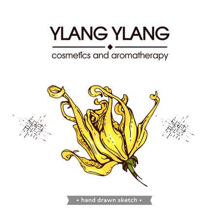 Flowers and leaves of ylang-ylang. Detailed hand-drawn sketches, vector botanical illustration. For menu, label, packaging design. Illustration