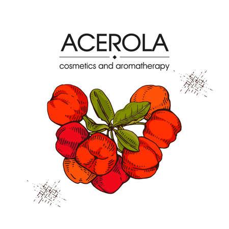 Branch acerola cherry, fruit, flower. Detailed hand-drawn sketches, vector botanical illustration. For menu, label, packaging design.