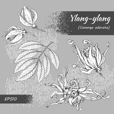 Collection of flowers and leaves of ylang-ylang. Detailed hand-drawn sketches, vector botanical illustration. For menu, label, packaging design. Illustration