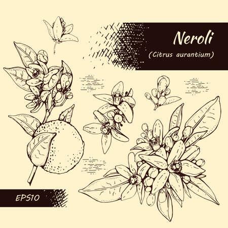 Collection of bitter orange flowers, buds, fruits. Detailed hand-drawn sketches, vector botanical illustration. For menu, label, packaging design. Иллюстрация