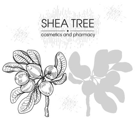 Branch Shea tree with fruits, nuts, leaves and Shea butter. Detailed hand-drawn sketches, vector botanical illustration. For cosmetics, medicine, aromatherapy. For menu, label, packaging design. For cosmetics, medicine, aromatherapy.